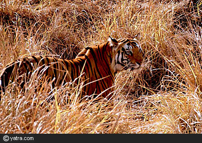 Tiger at Kanha, holiday packages in Kanha, honeymoon packages in Kanha