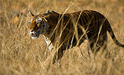 Bandhavgarh Wildlife Packages