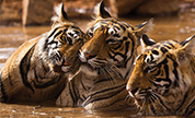 Ranthambore Wildlife Packages